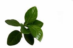 Jasmine leaves. Leaves, jasmine fragrance fits well Stock Images