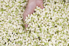 Jasmine. A lot of jasmine with hand holding Royalty Free Stock Images