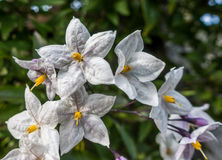 Jasmine Nightshade Photo stock