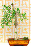 Jasmine orange bonsai tree Stock Photo