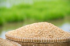 Jasmine paddy rice. Royalty Free Stock Photo