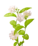 Jasmine - path. Jasmine flower  with clipping path Stock Image