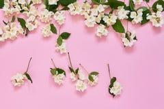 Jasmine, Philadelphus or mock-orange flowers border on pink background. Copy space, top view. Greeting card royalty free stock photos