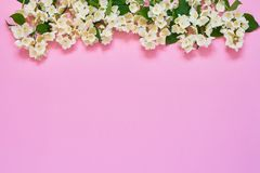 Jasmine, Philadelphus or mock-orange flowers border on pink background. Copy space, top view. Summer, spring background royalty free stock photo