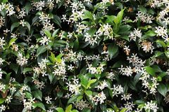 Jasmine plant  on the wall Royalty Free Stock Photography