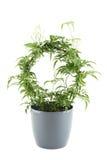 Jasmine - potted plant Royalty Free Stock Photo