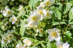 Jasmine in the raindrops royalty free stock image