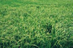 Jasmine rice field Stock Images