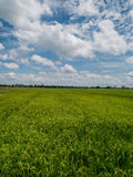 Jasmine rice field after rain is beautifully in upcountry landscape. Stock Image