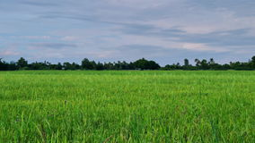 Jasmine rice field in Thailand. Rice field green grass blue sky cloud cloudy in Thailand,landscape stock video footage