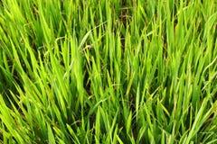 Jasmine rice Stock Photography