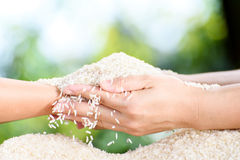 Jasmine rice in mother and child hands. Close up white Jasmine rice variety is Thailand major variety for consumption good smell and delicious in young mother Royalty Free Stock Photography