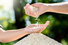 Jasmine rice in mother and child hands. Close up white Jasmine rice variety is Thailand major variety for consumption good smell and delicious in young mother Stock Photography