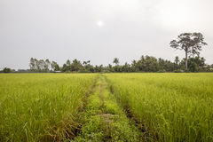 Jasmine rice paddy with trees in background Stock Photos