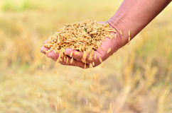 Jasmine rice seed Stock Photo