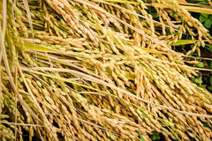 Jasmine rice seed yellow gold for food Stock Photos