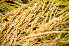 Jasmine rice seed yellow gold for food Royalty Free Stock Photo
