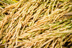 Jasmine rice seed yellow gold for food Royalty Free Stock Images