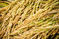 Jasmine rice seed yellow gold for food Stock Images