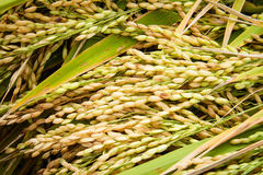 Jasmine rice seed yellow gold for food Stock Photography