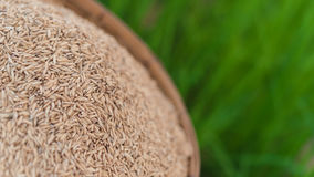 Jasmine rice seeds in bamboo basket with green rice plant field Stock Images