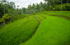 Jasmine rice terrace field, Bali Royalty Free Stock Photography