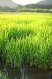 Jasmine Rice water paddy Stock Photography