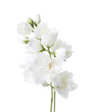 Jasmine`s Philadelphus flowers isolated on white. Royalty Free Stock Image