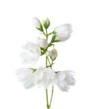 Jasmine`s Philadelphus flowers isolated on white. Royalty Free Stock Photos