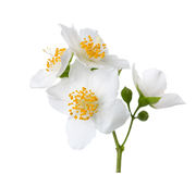 Jasmine`s Philadelphus flowers isolated on white. Royalty Free Stock Images