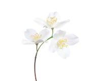Jasmine`s Philadelphus flowers isolated on white . Stock Photos