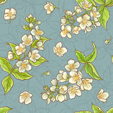 Jasmine seamless pattern. Jasmine flowers color vector  seamless pattern on blue background Royalty Free Stock Image