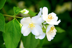 Jasmine (small white flower) Royalty Free Stock Images