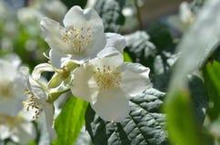 Jasmine spring flowers in the garden. Philadelphus. Stock Photo