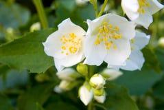 Jasmine twig. Close-up in the garden Stock Photos