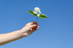 Jasmine twig in female hand on blue sky background Royalty Free Stock Photography