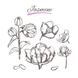 Jasmine. Vector collection.  Natural herbs and flowers. Beauty and Ayurveda. Organic cosmetics. Jasmine. Vector collection in sketch style. Isolated objects Stock Photos