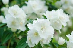 Jasmine vintage flower Royalty Free Stock Photography