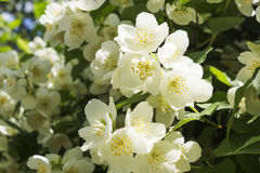 Jasmine white flower. Bush blossoms at spring Stock Photo