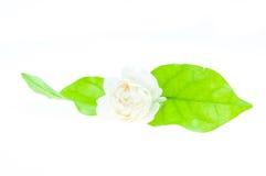 Jasmine white flower Stock Photo