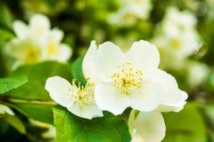 Jasmine white flower. Bush blossoms at spring Royalty Free Stock Photos