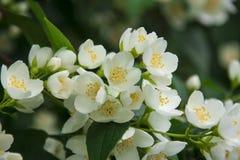 Jasmine white flower stock image