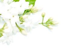 Jasmine. White Jasmine flower, isolated on a white background royalty free stock photo