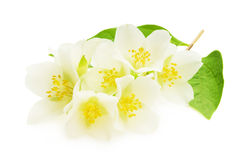 Jasmine white flower  on white background Royalty Free Stock Photos