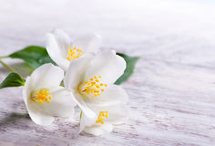 Jasmine white flower on white wood background Stock Photo
