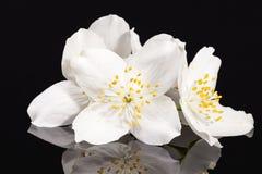 Jasmine white flowers  on black background Royalty Free Stock Image