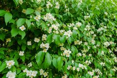 Green bush with Jasmine white flowers in the park. Jasmine white flowers on the green bush in garden stock photography
