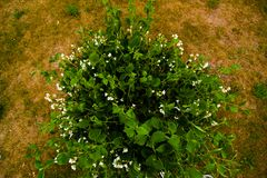 Green bush with Jasmine white flowers in the park. Jasmine white flowers on the green bush in garden stock image