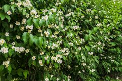 Green bush with Jasmine white flowers in the park. Jasmine white flowers on the green bush in garden stock photos