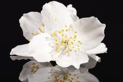 Jasmine white flowers isolated on black background Stock Photo
